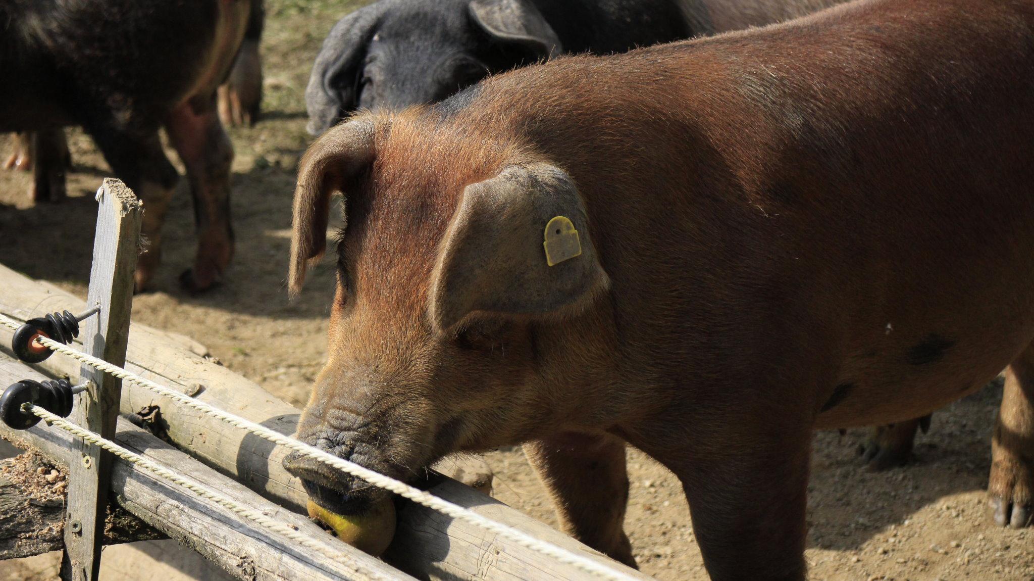 Duroc-Schwein aus der Schweinezucht von Metzgermeister Sepp Mayer in Bischofshofen