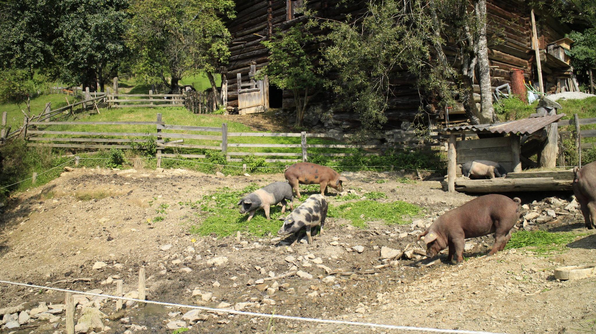Schweinezucht am Schreckgut von Sepp Mayer
