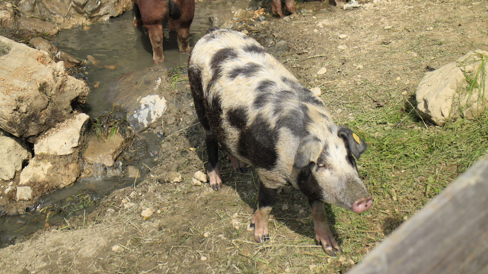 Turopolje-Schwein aus der Schweinezucht von Metzgermeister Sepp Mayer in Bischofshofen