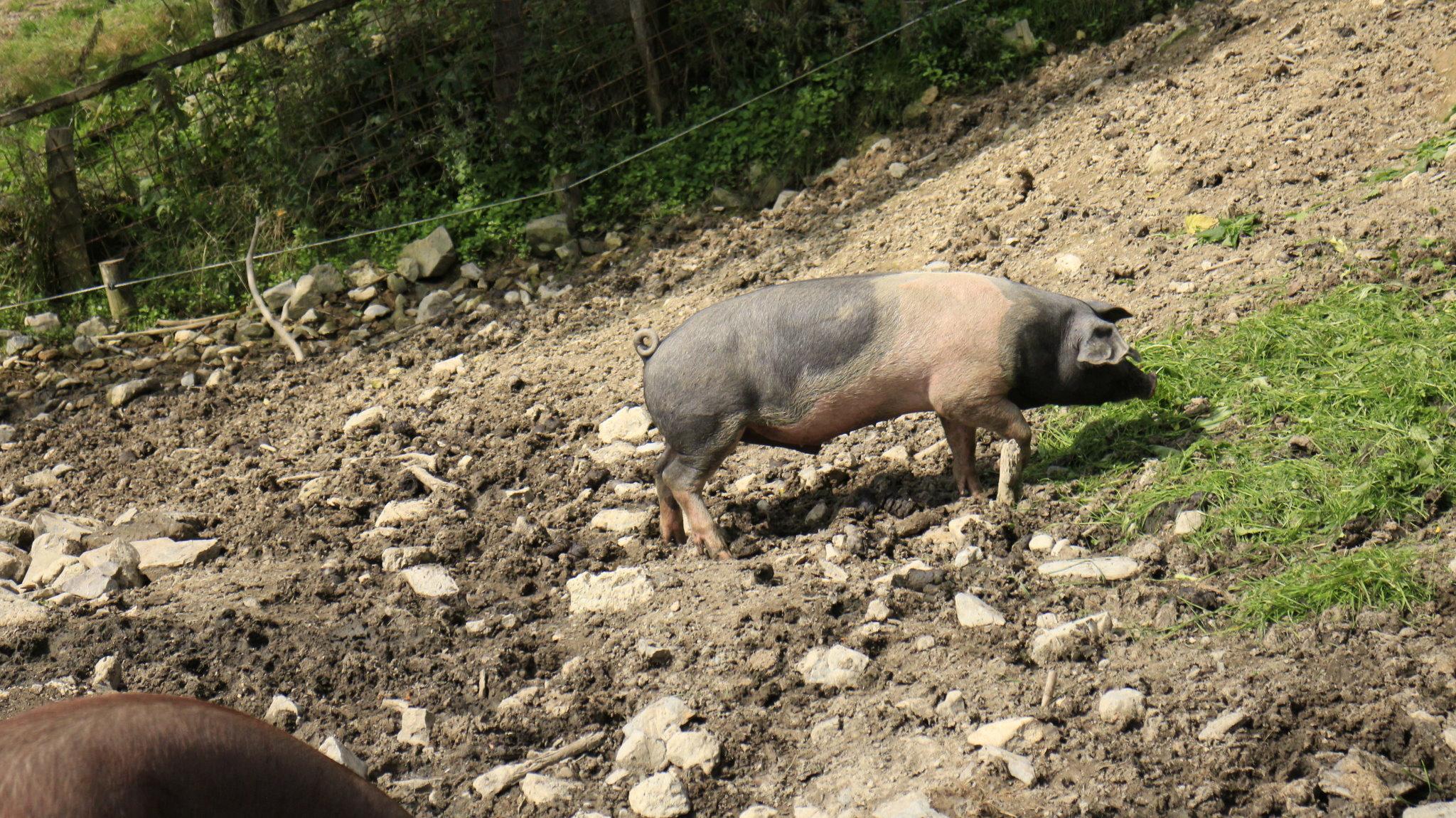 Schwäbisch-Hällisches Schwein aus der Schweinezucht von Metzgermeister Sepp Mayer in Bischofshofen